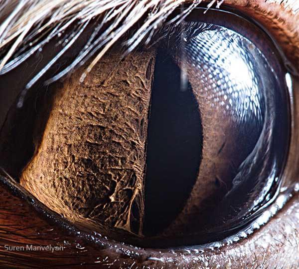 20 fascinujúcich fotografií očí živočíchov, ktoré vás ohromia-candyman.sk (15)