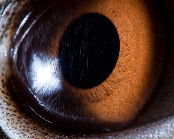 20 fascinujúcich fotografií očí živočíchov, ktoré vás ohromia-candyman.sk (19)