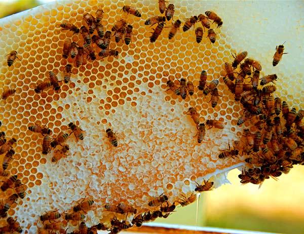 včelí med a včely
